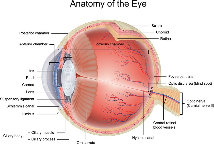 Bateseyeexercises vision disorders the eyeball is 24 mm wide the eye acts in a similar way to a video camera the cornea pupil and lens generate a sharp picture of the surrounding view on ccuart Image collections